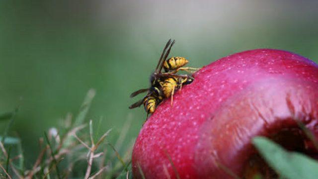 Wespen op een rottende appel