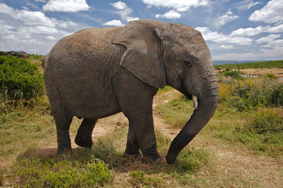 Vlaamse olifant in Belgische koloniale kraal