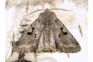 De Nunvlinder, Orthosia Gothica, met de Engelse bijnaam 'Hebrew Character'