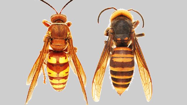 Europese en Aziatische hoornaar